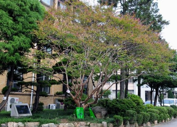 내포신도시로 옮겨갈 배롱나무.