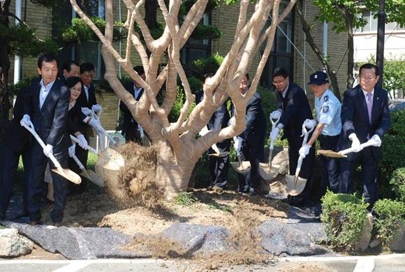 배롱나무 이식작업 모습