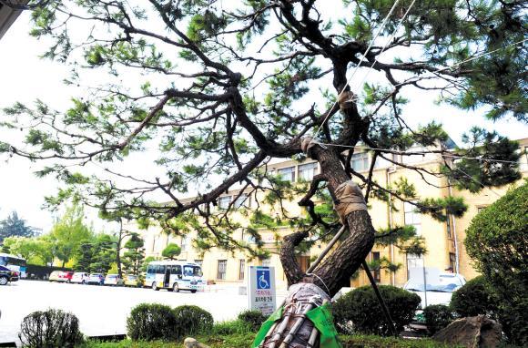 소나무<오른쪽>. 도청 본관 앞 배롱나무는 수령 60년, 정문 옆에 있는 소나무는 수령 70년이다. 도청이전과 내포신도시 개막 D-100일을 맞아 배롱나무가 먼저 24일 신청사로 옮겨졌고 소나무는 10월 말 이식 예정이다.
