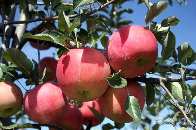 달콤한 사과향 가득한 논산 주옥농장을 다녀와서
