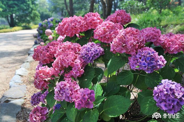 천리포수목원 여름꽃축제, 수국 보러가요
