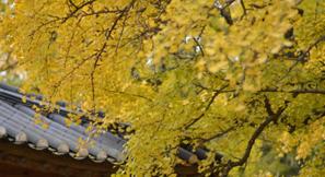 보령 청라은행마을에서 '황금빛 추억'을