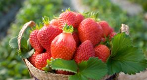 충남 딸기, 새로운 홍콩 시장 개척